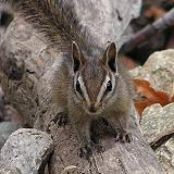 California Chipmunk