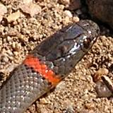 Ring-Necked Snake - Johnson's Pasture